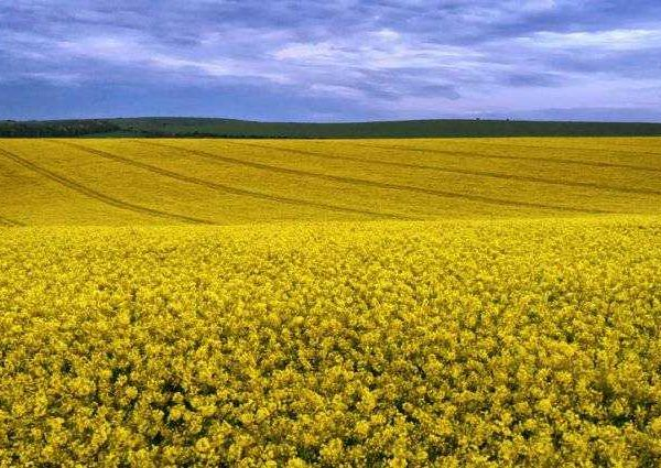 Yellow Rape Seed Fields of Sussex